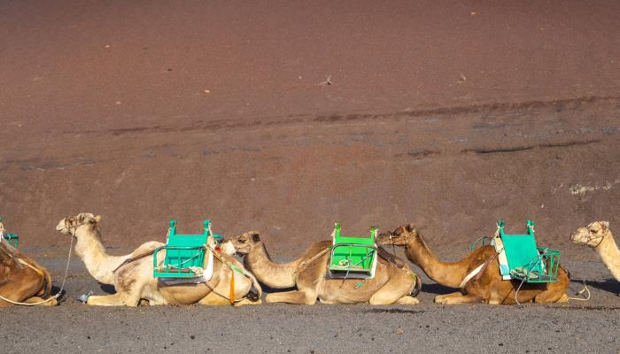 picture of camels in Lanzarote