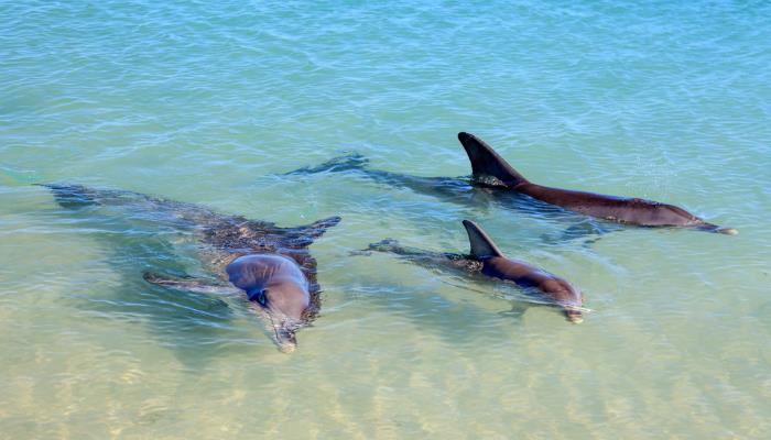 picture of dolphins in the sea